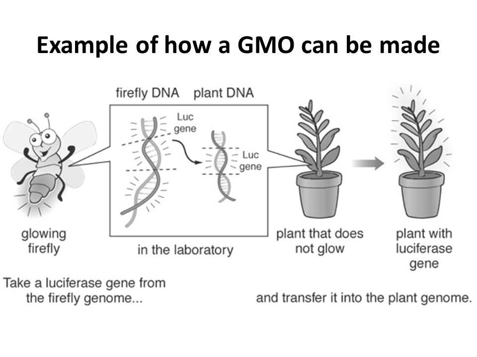 Example of how a GMO can be made