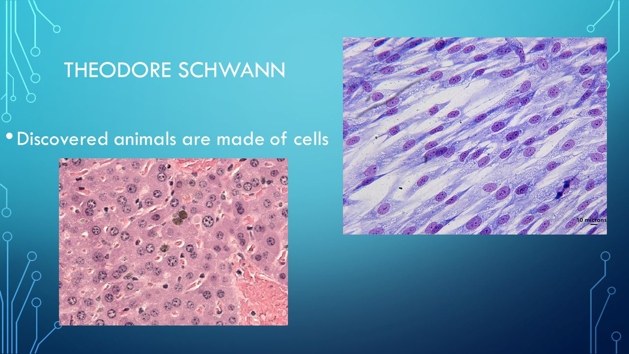 Theodore Schwann Discovered animals are made of cells