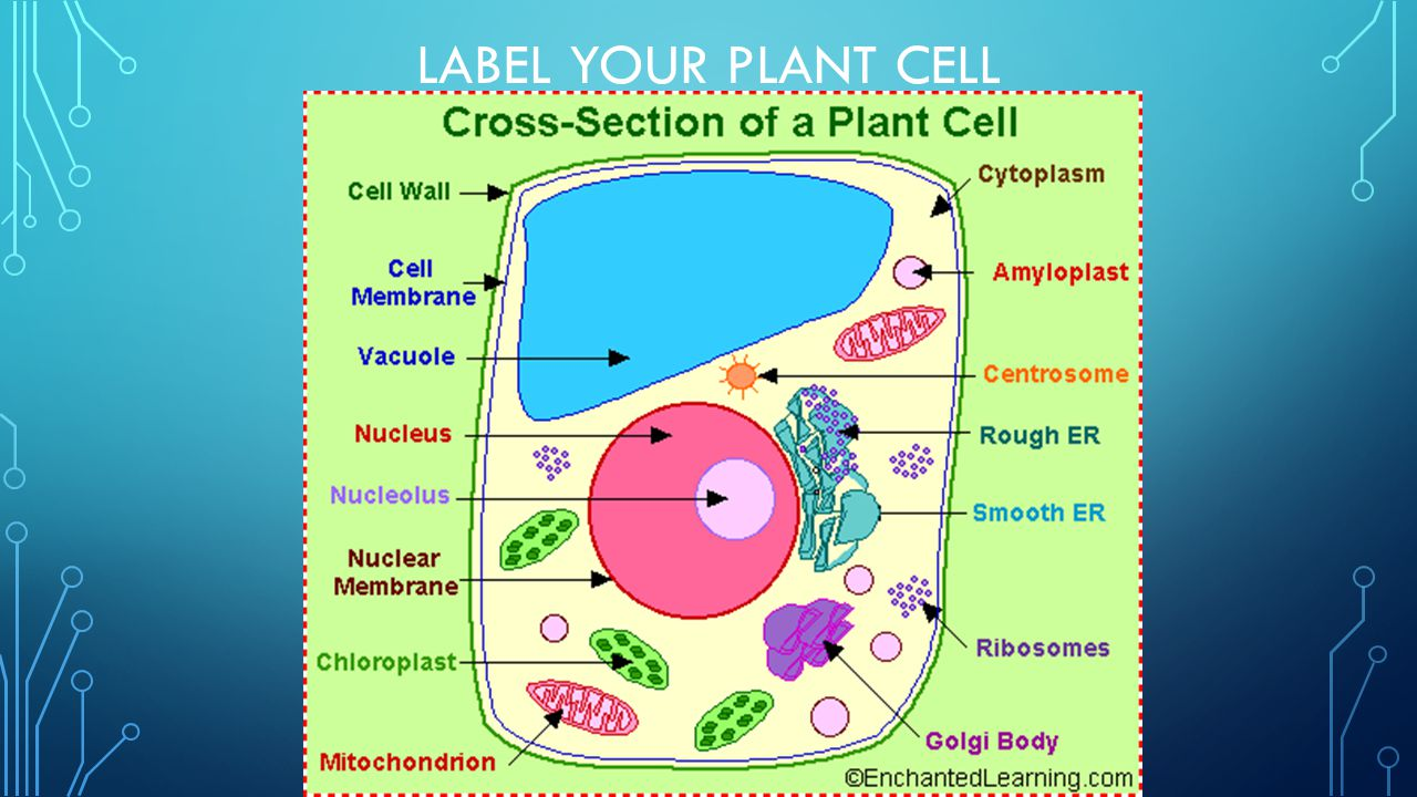 Label Your Plant Cell