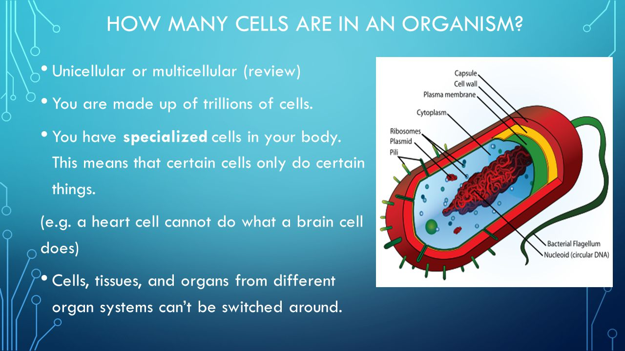 How Many Cells are in an Organism