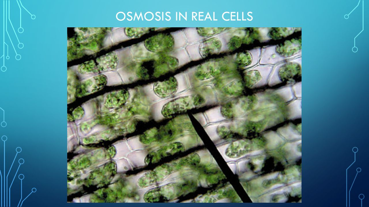 Osmosis in real cells