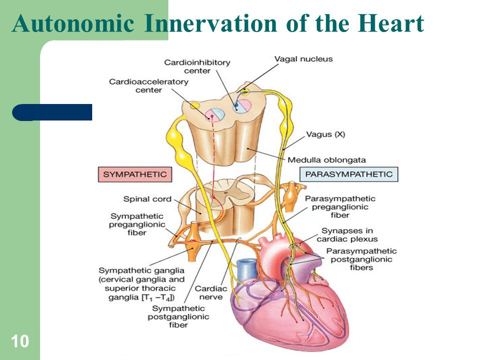 Autonomic Innervation of the Heart