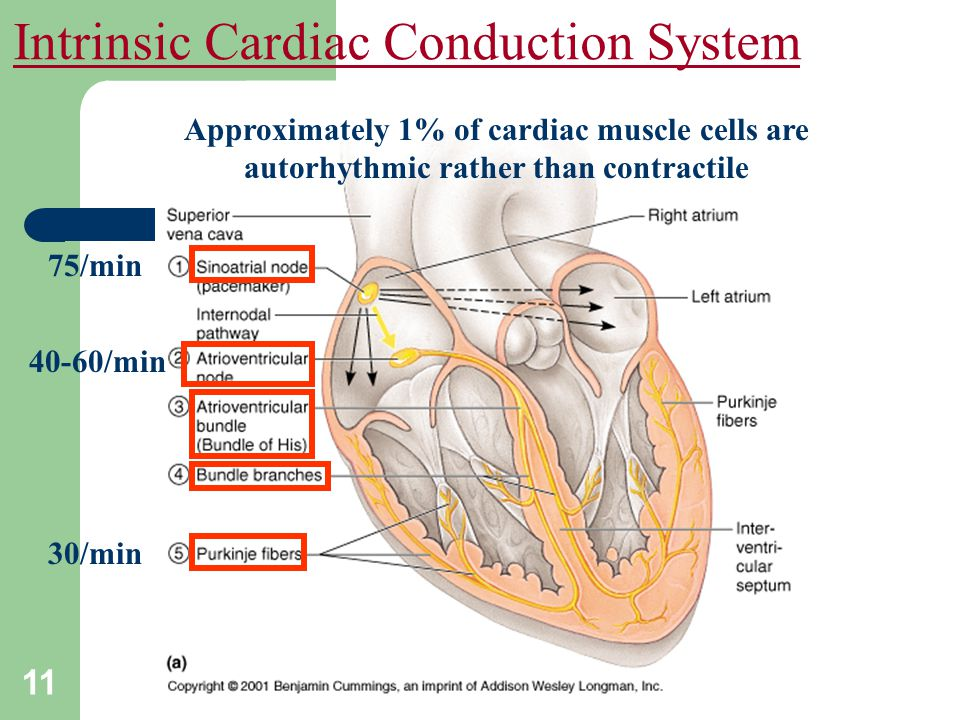 Intrinsic Cardiac Conduction System