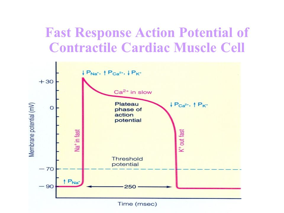 Fast Response Action Potential of Contractile Cardiac Muscle Cell