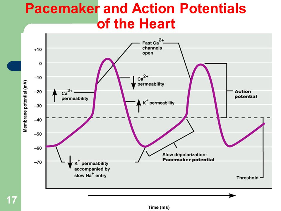 Pacemaker and Action Potentials of the Heart