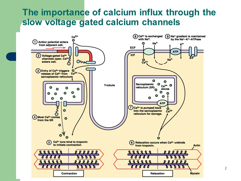 The importance of calcium influx through the slow voltage gated calcium channels