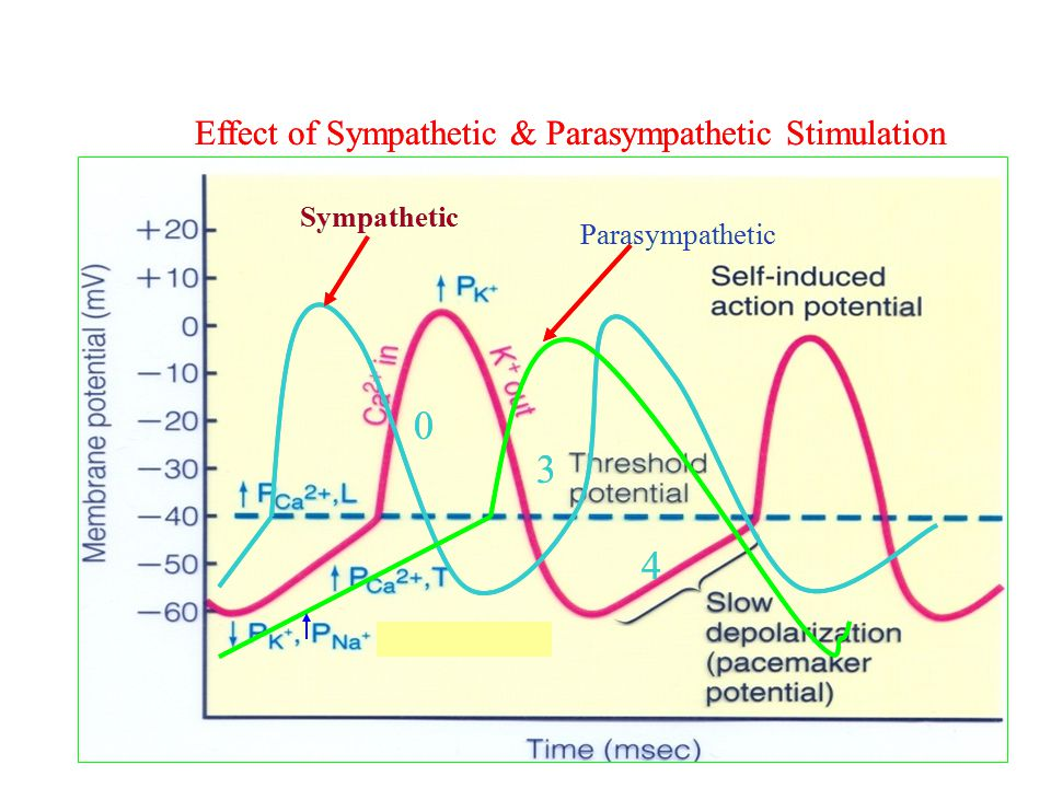 3 4 3 4 Effect of Sympathetic & Parasympathetic Stimulation