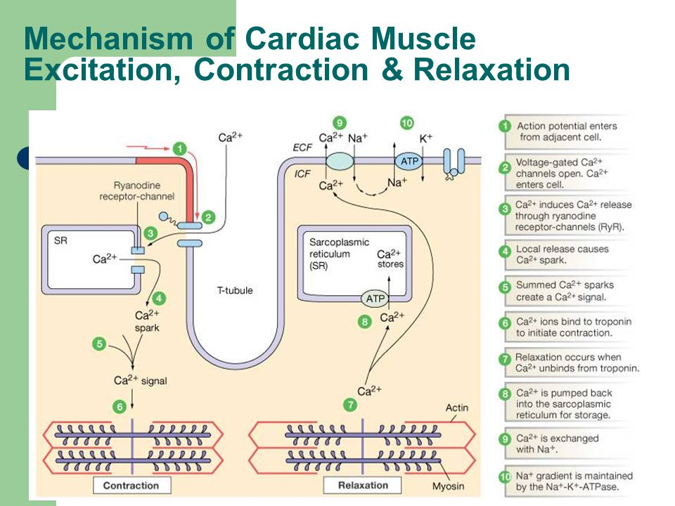 Mechanism of Cardiac Muscle Excitation, Contraction & Relaxation