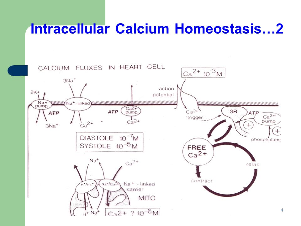 Intracellular Calcium Homeostasis…2