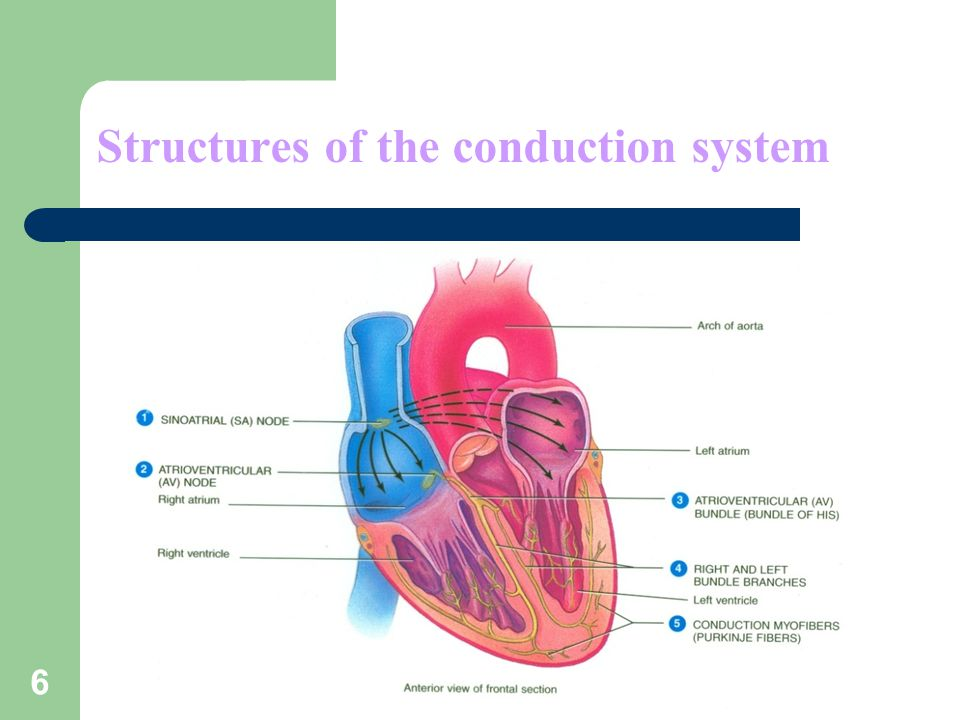 Structures of the conduction system