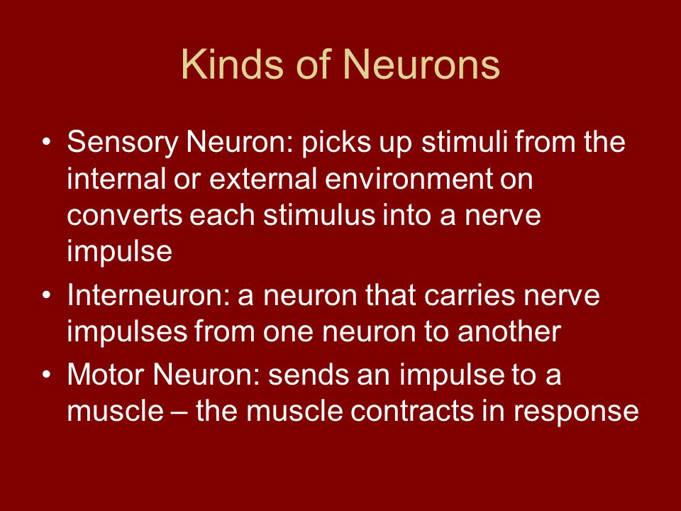 Kinds of Neurons Sensory Neuron: picks up stimuli from the internal or external environment on converts each stimulus into a nerve impulse.