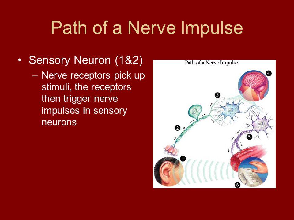 Path of a Nerve Impulse Sensory Neuron (1&2)