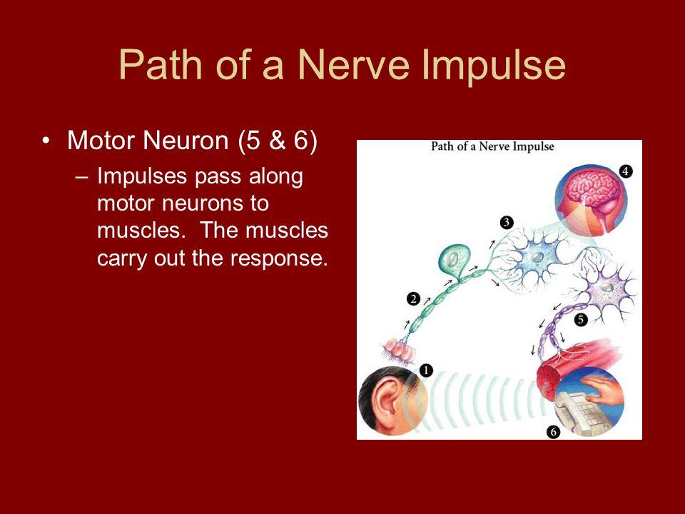 Path of a Nerve Impulse Motor Neuron (5 & 6)