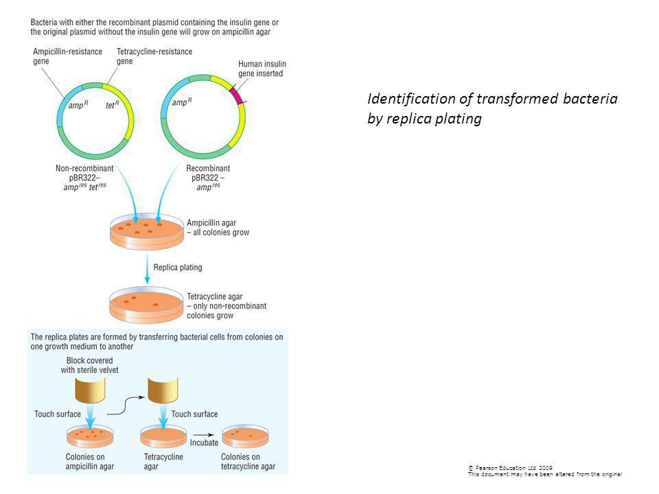 Identification of transformed bacteria by replica plating
