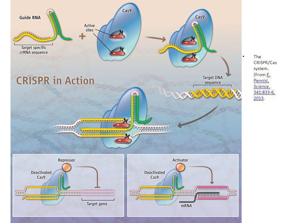 The CRISPR/Cas system. (From E. Pennisi, Science, 341:833-6, 2013.