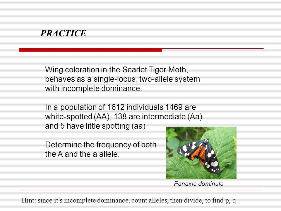 PRACTICE Wing coloration in the Scarlet Tiger Moth, behaves as a single-locus, two-allele system with incomplete dominance.