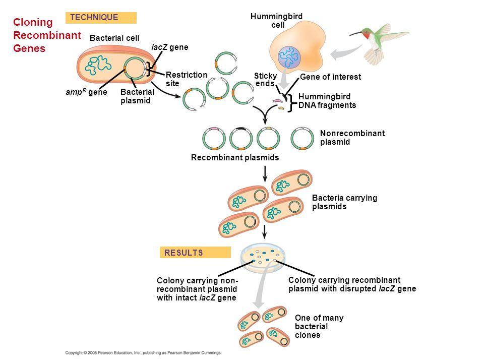 Cloning Recombinant Genes