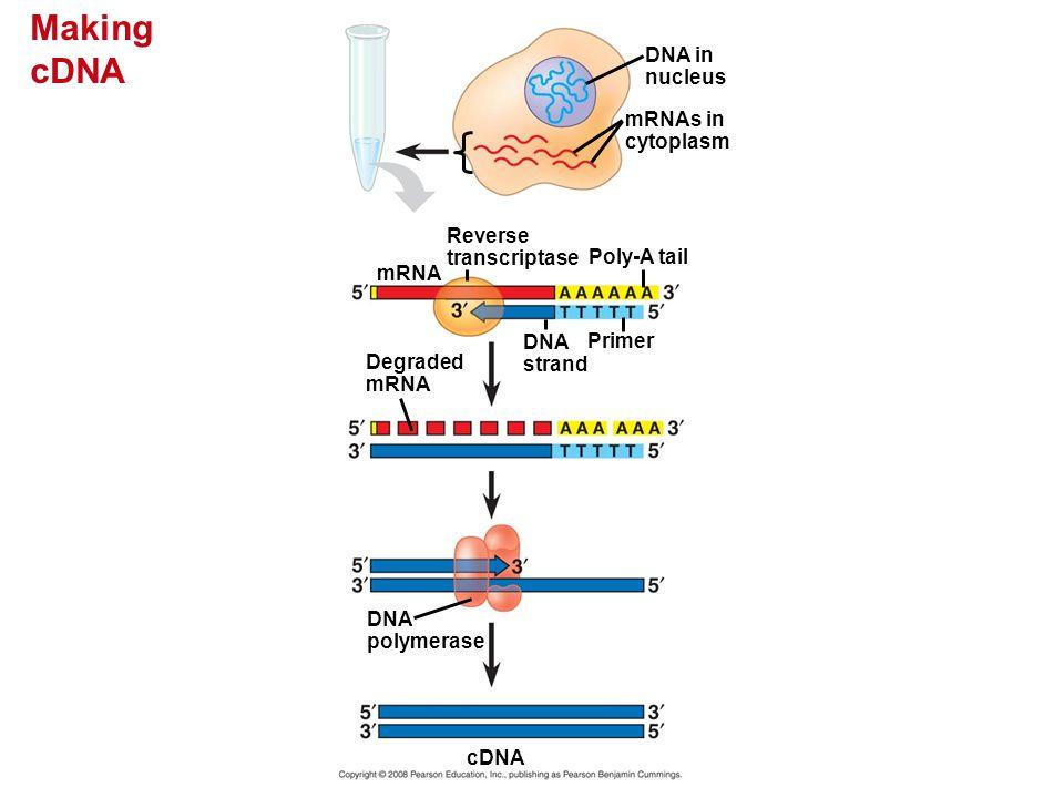 Making cDNA DNA in nucleus mRNAs in cytoplasm Reverse transcriptase