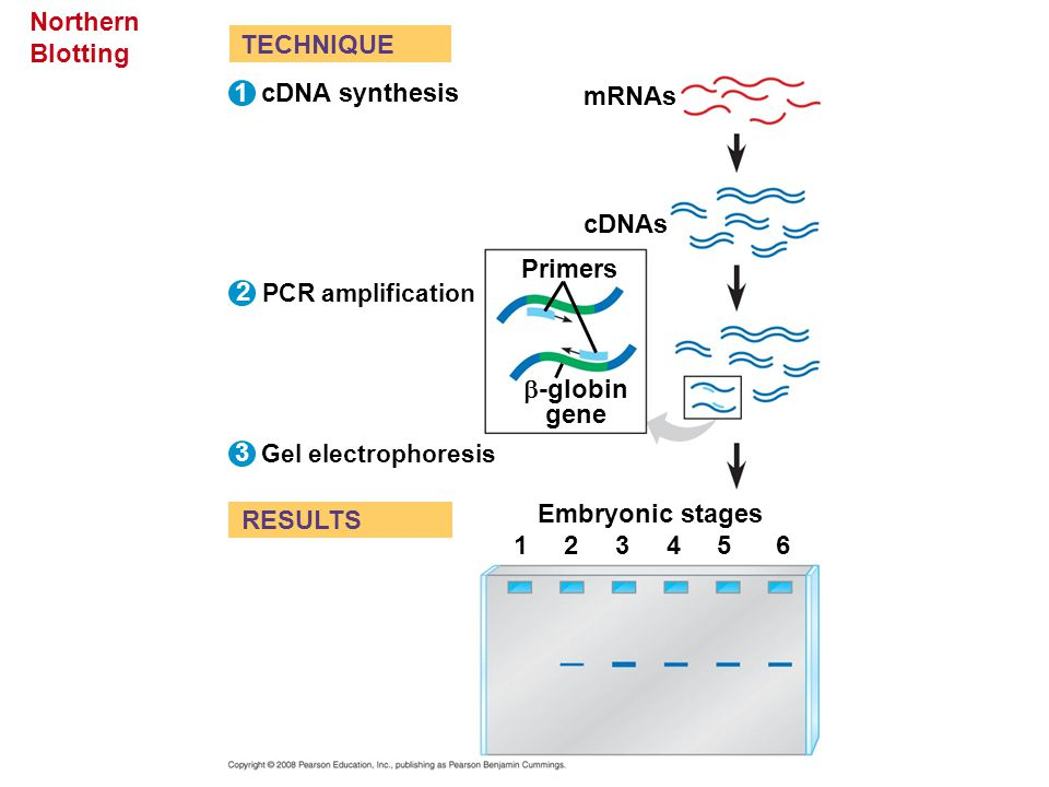 Northern Blotting TECHNIQUE 1 cDNA synthesis mRNAs cDNAs Primers 2