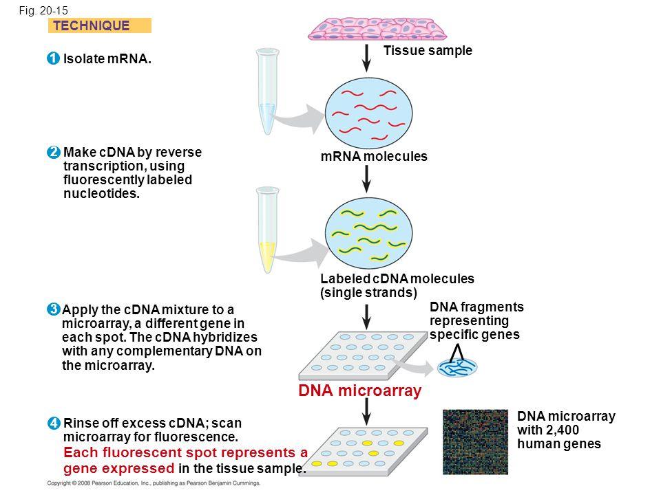 DNA microarray TECHNIQUE Tissue sample 1 Isolate mRNA. 2