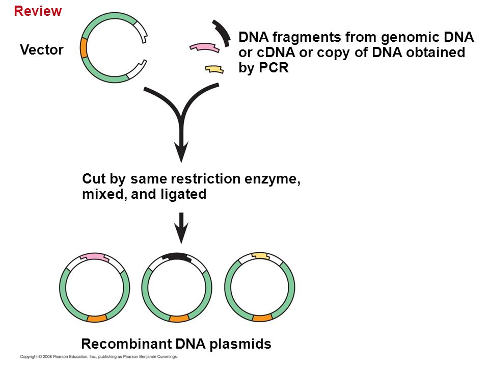 DNA fragments from genomic DNA or cDNA or copy of DNA obtained by PCR