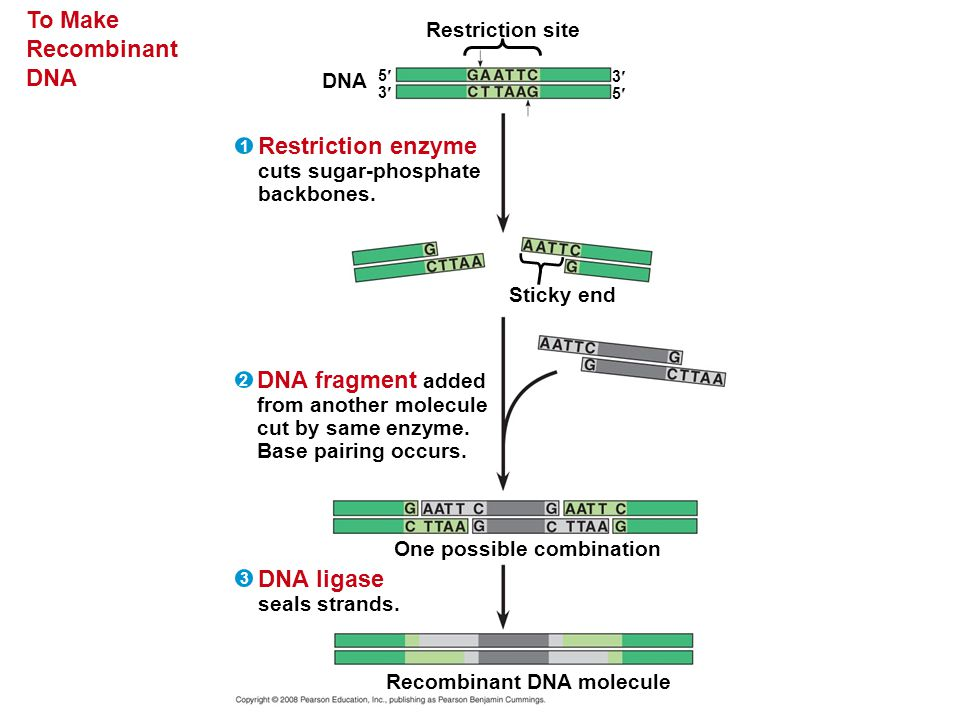 To Make Recombinant DNA