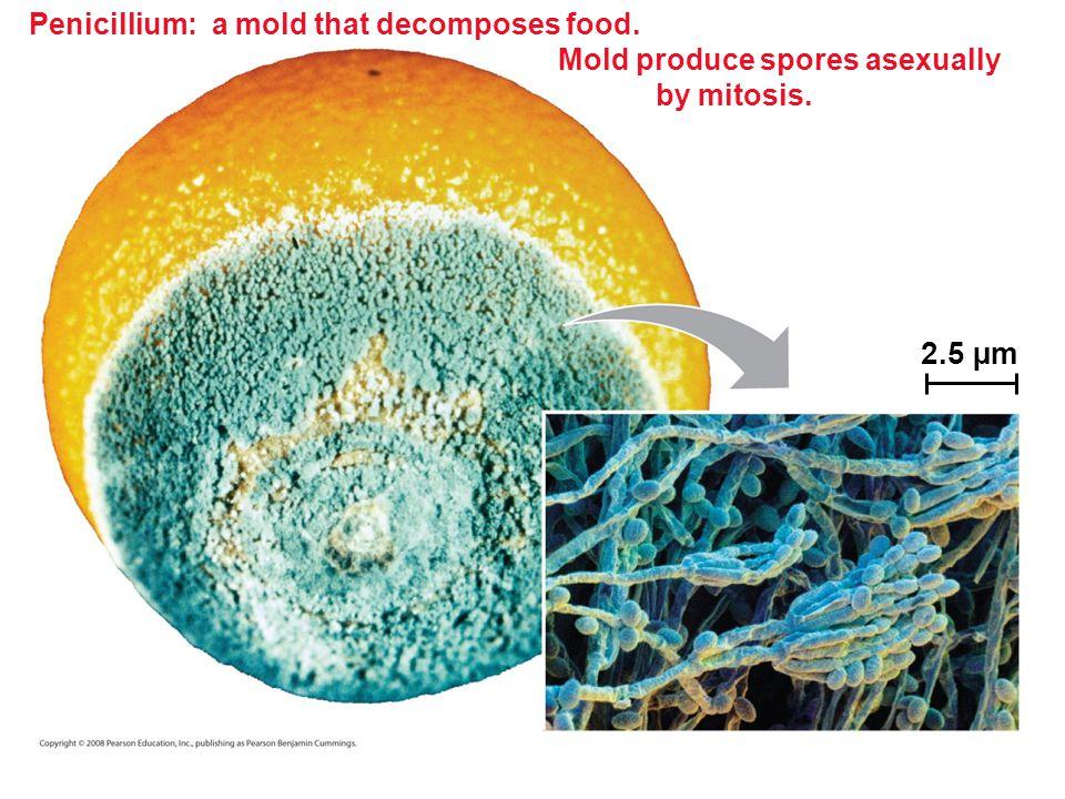 Penicillium: a mold that decomposes food