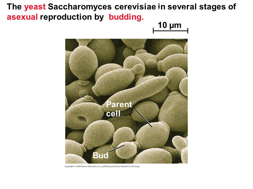 The yeast Saccharomyces cerevisiae in several stages of asexual reproduction by budding.