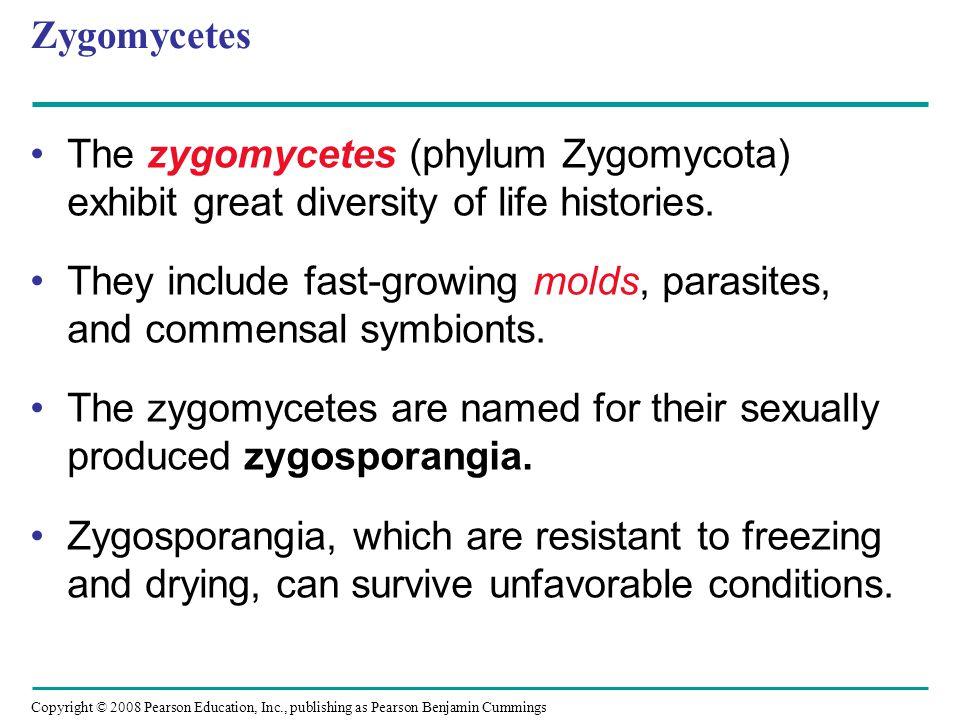 Zygomycetes The zygomycetes (phylum Zygomycota) exhibit great diversity of life histories.
