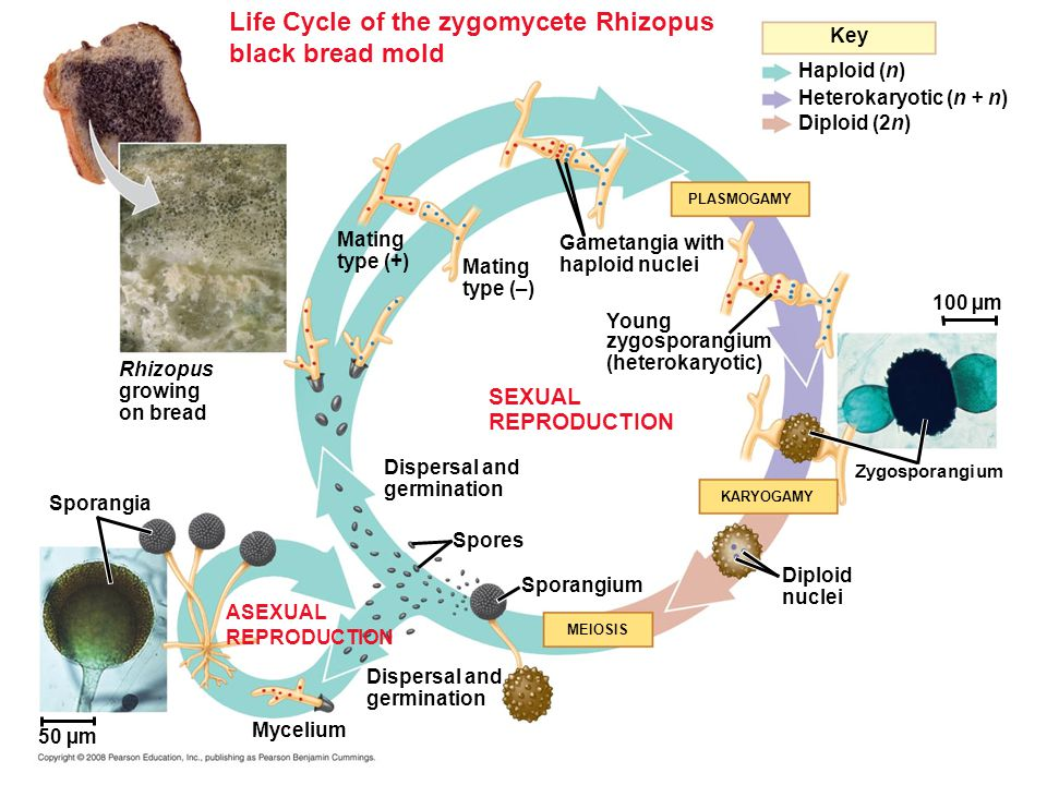 Life Cycle of the zygomycete Rhizopus black bread mold