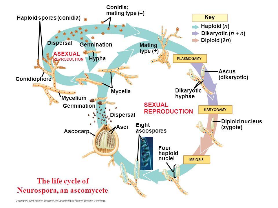 The life cycle of Neurospora, an ascomycete