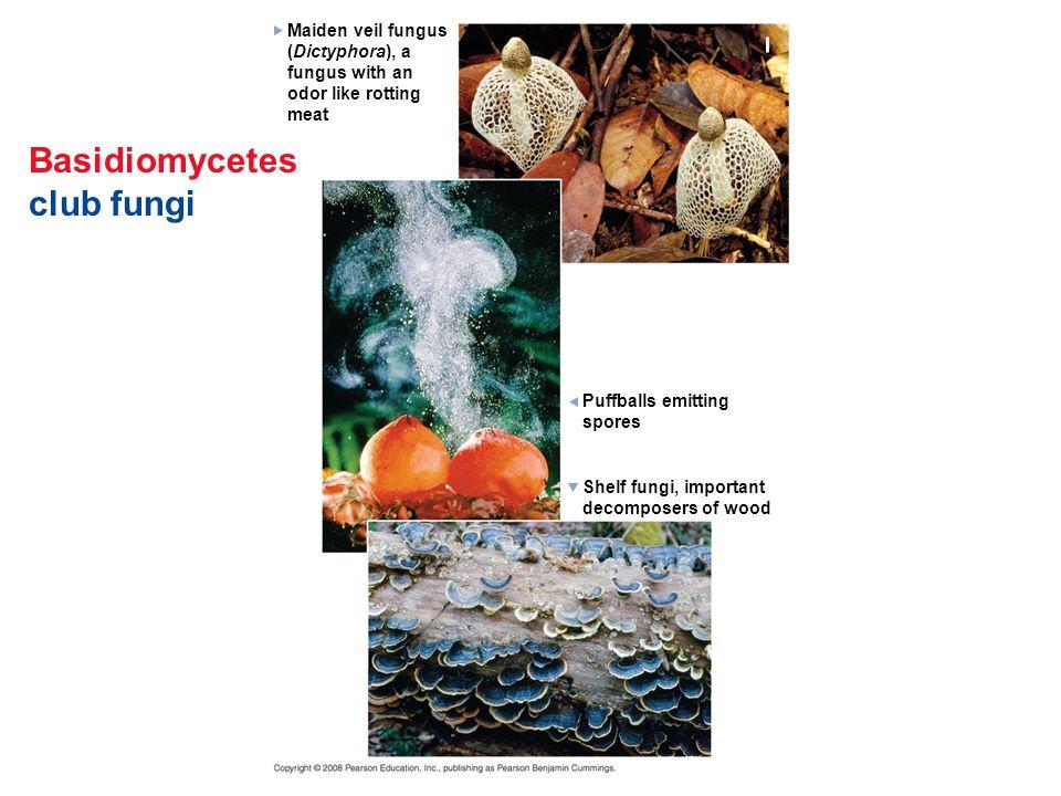 Basidiomycetes club fungi