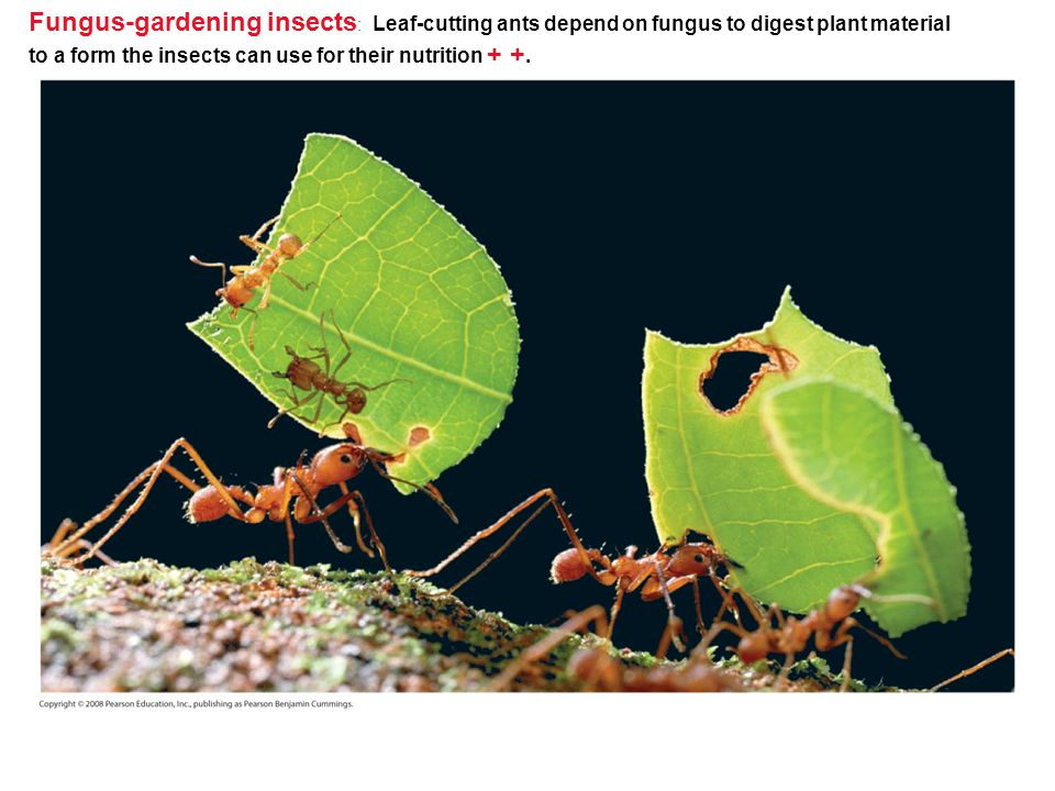 Fungus-gardening insects: Leaf-cutting ants depend on fungus to digest plant material to a form the insects can use for their nutrition + +.