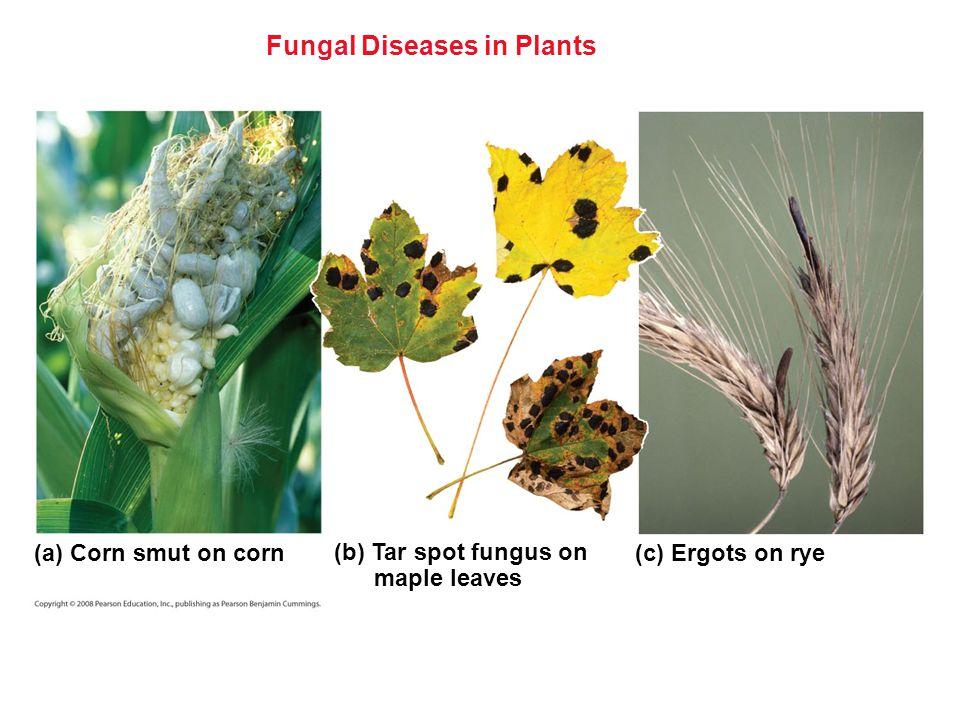 Fungal Diseases in Plants