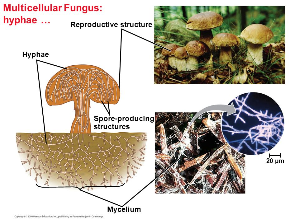Multicellular Fungi Diagram Image Information