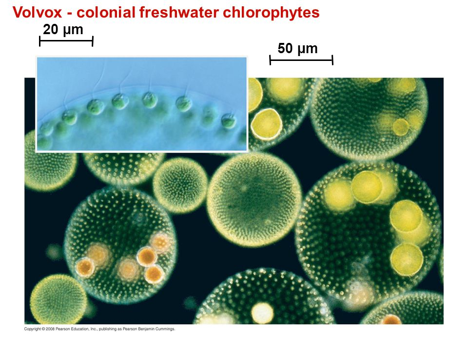 Volvox - colonial freshwater chlorophytes