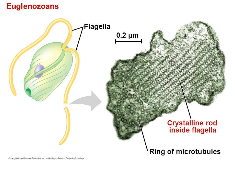 Euglenozoans Flagella 0.2 µm Crystalline rod inside flagella