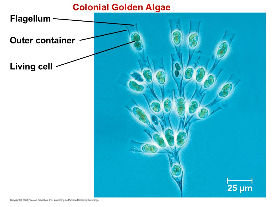 Flagellum Outer container Living cell 25 µm Colonial Golden Algae