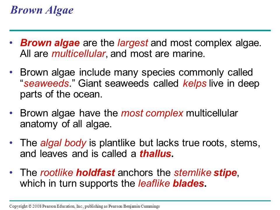 Brown Algae Brown algae are the largest and most complex algae. All are multicellular, and most are marine.