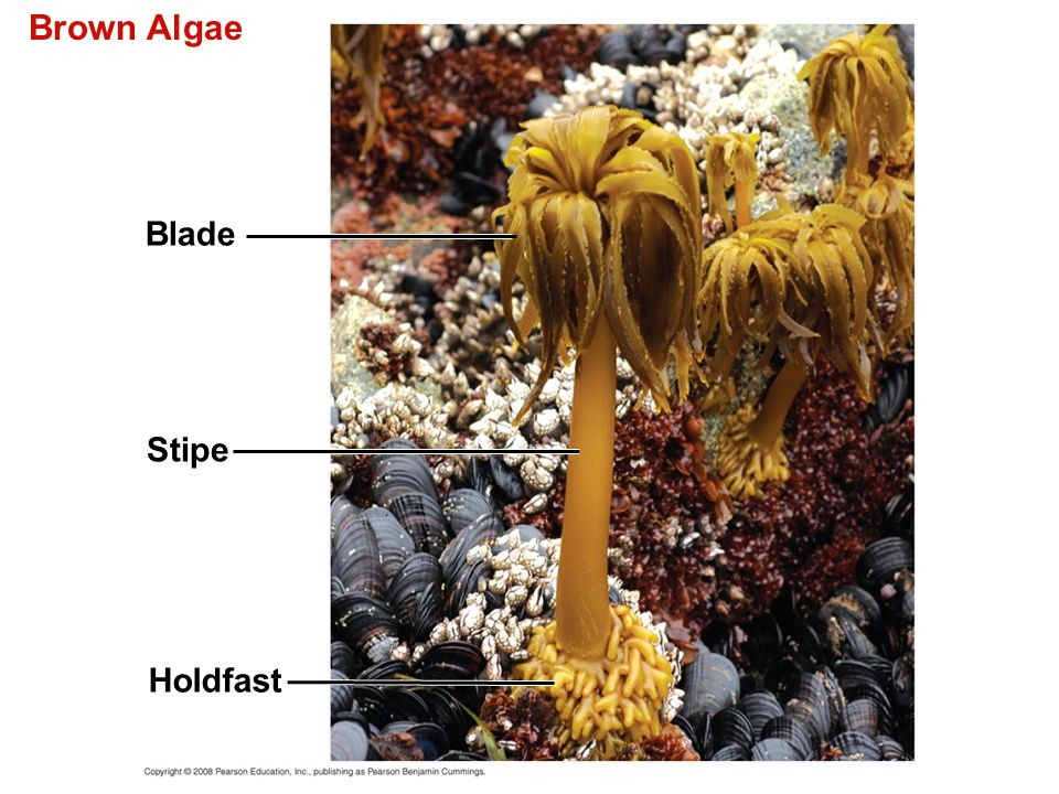 Brown Algae Blade Stipe Holdfast