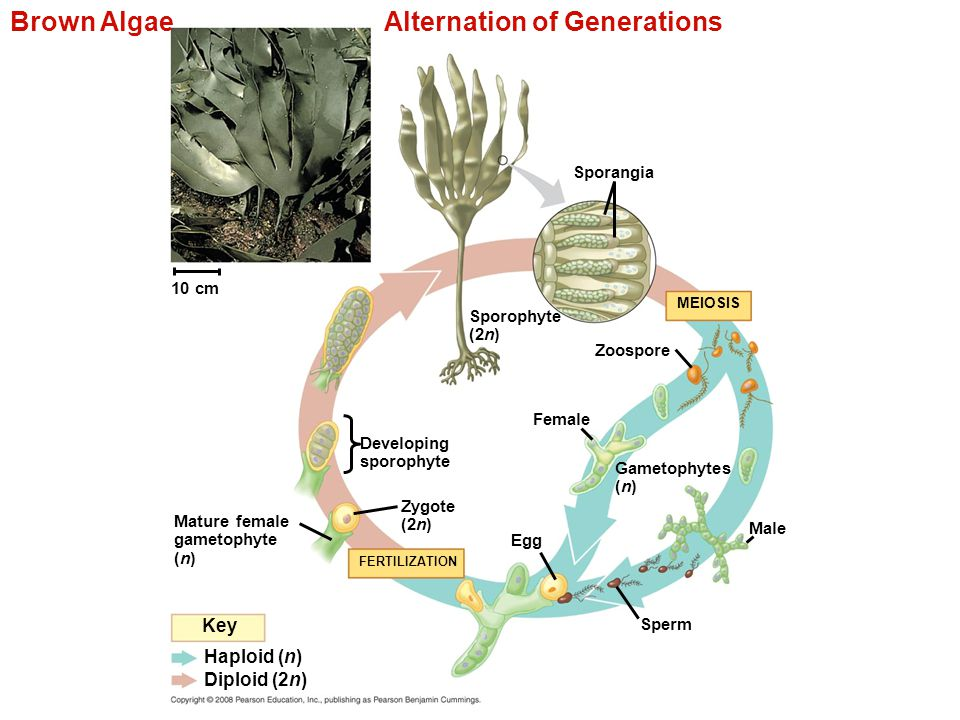 Brown Algae Alternation of Generations