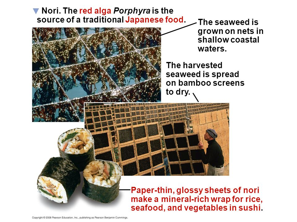Nori. The red alga Porphyra is the