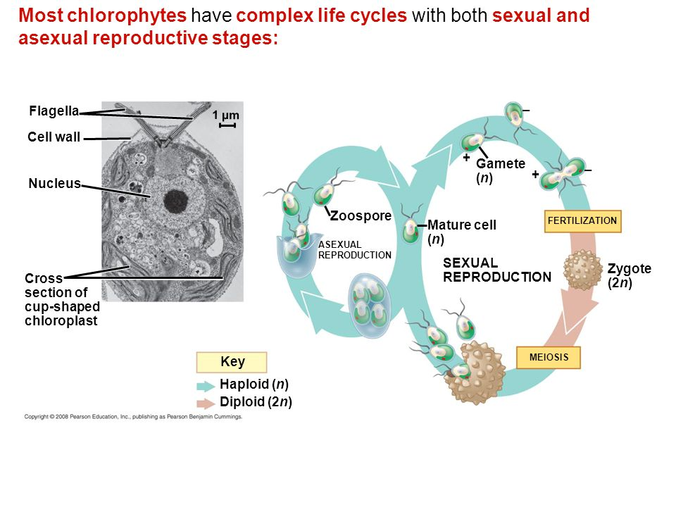 Most chlorophytes have complex life cycles with both sexual and asexual reproductive stages: