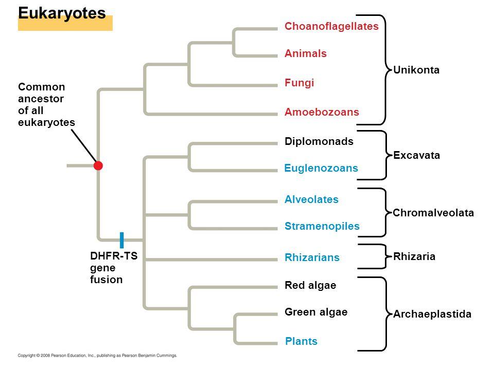 Eukaryotes Choanoflagellates Animals Unikonta Fungi Common ancestor