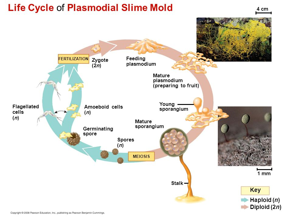 Life Cycle of Plasmodial Slime Mold