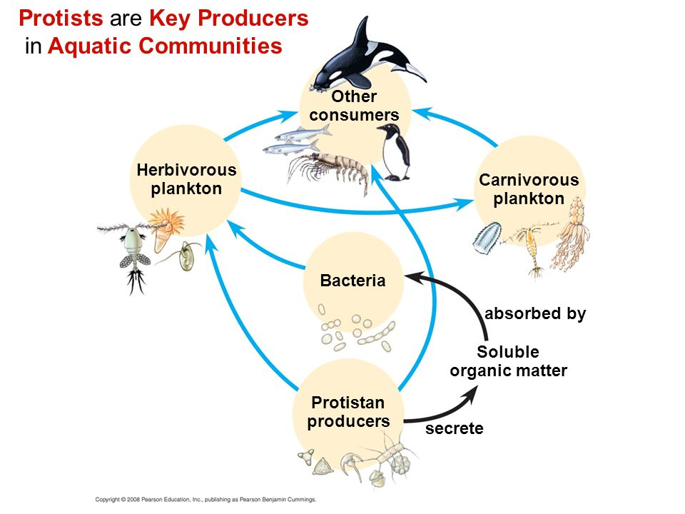 Protists are Key Producers in Aquatic Communities