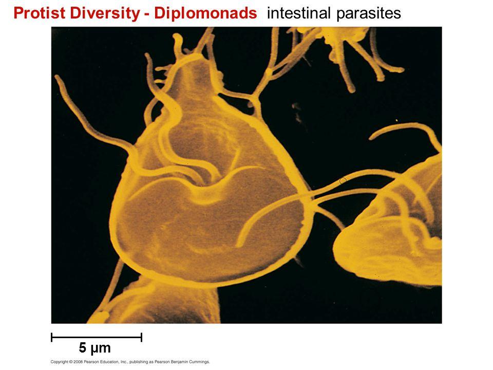 Protist Diversity - Diplomonads intestinal parasites