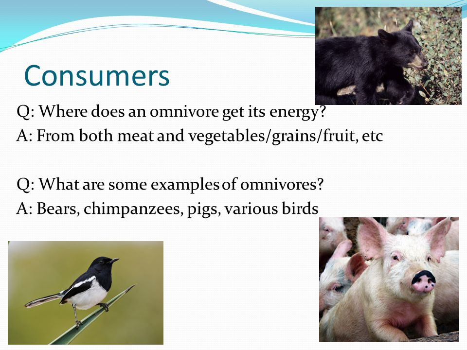 Consumers Q: Where does an omnivore get its energy