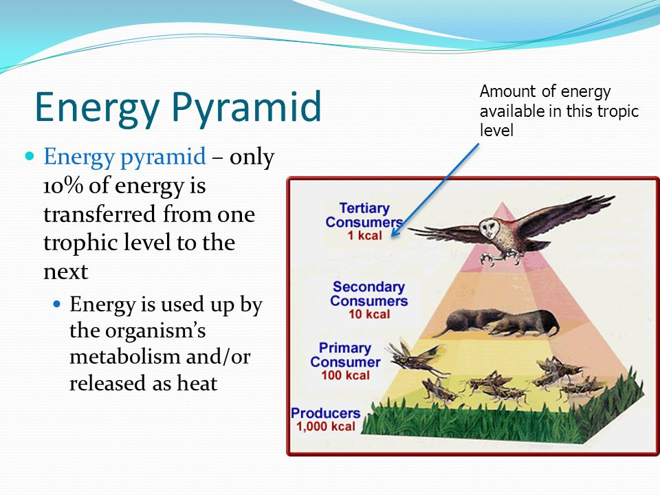 Energy Pyramid Amount of energy available in this tropic level.
