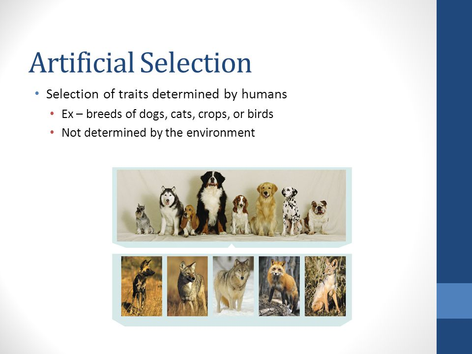 Artificial Selection Selection of traits determined by humans